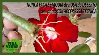 NUNCA FAÇA ESTAQUIA de ROSA do DESERTO sem antes CONHECER ESSA TÉCNICA!