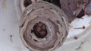 Bald Faced Hornet Time lapse nest Yellow Jacket Nest