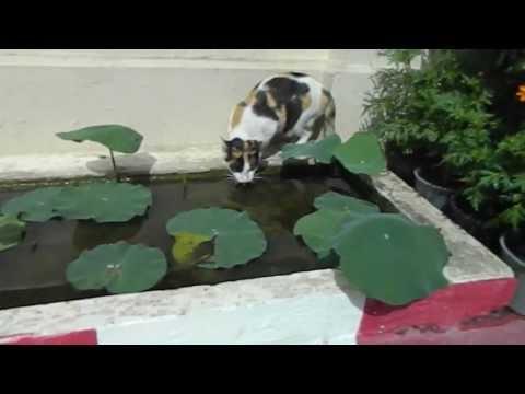 Bangkok; Siam Calico Meow Meow Around The Grand Palace Now