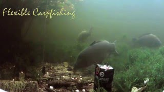 Big Carp eating Pallatrax