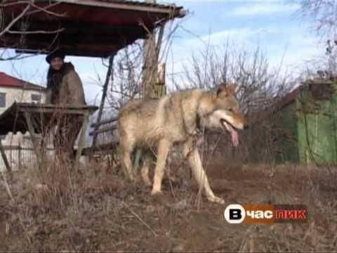 Волк в городе_Рябченко Николай_REN tv