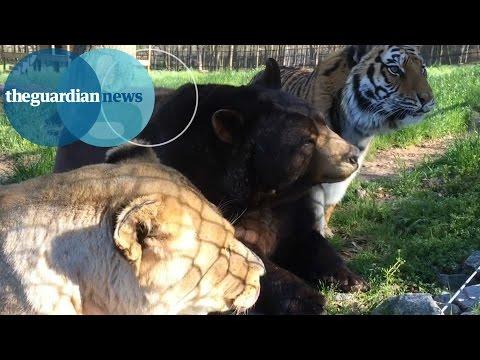 トラ・ライオン・クマの猛獣同士が仲良く暮らすほっこり映像