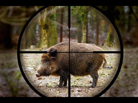 Wild Boar Hunting,wildsau Jagd 2014 video