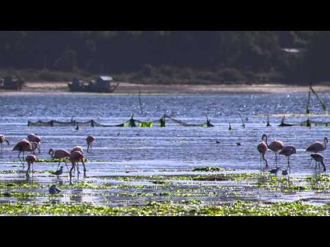 Chilean Flamingos (Phoenicopterus chilensis)