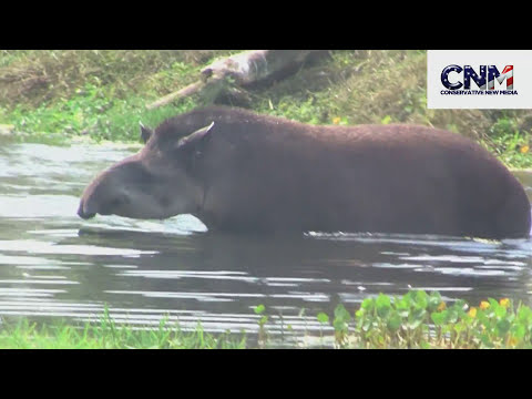 COOL  - Tapir Swims Underwater