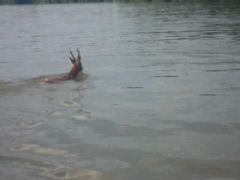 Srndac preplivava Dunav