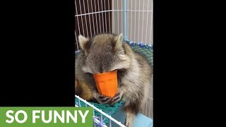Raccoon attempts to drink water like human