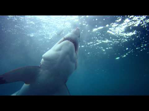 Great White Shark - Official Trailer 1080P HD