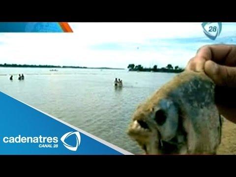 Ataque de peces carnívoros deja 70 heridos en playas de Rosario, Argentina