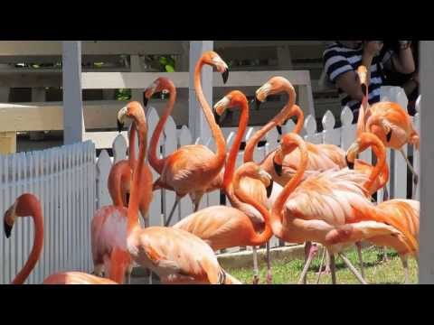 Ardastra Gardens Nassau Bahamas Flamingos Marching