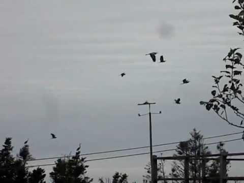 Monhegan Great Blue Herons Migrating