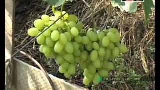 Виноградник Владимира Молчанюка.