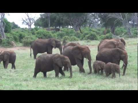 Baby elephants playing, very cute funny!!!! African Safari Tsavo East Kenya