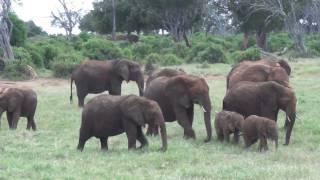 Baby elephants playing, very cute funny!!!! African Safari Tsavo East Kenya