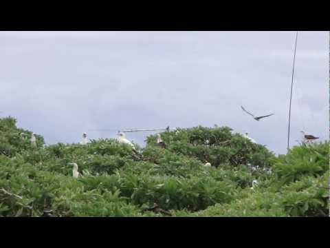 Flock of Booby Birds on a windy Conway Reef day during 3D2C DXpedition.