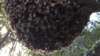 Apis Arboreal / Open Air Honeybee Nest