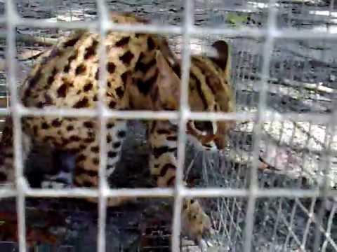 Leopard cat @ Flat-headed Cat @ kucing hutan.mp4
