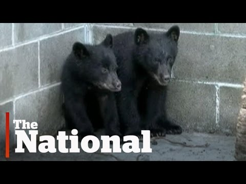 Conservation officer refuses to kill bear cubs