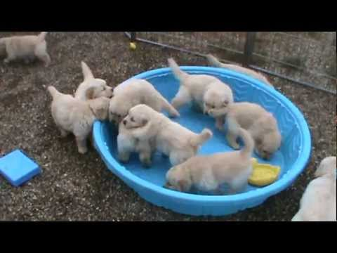 5 week old golden retriever puppies really mad when for Cute pool pictures