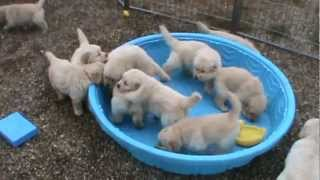 5 week old golden retriever puppies really mad when someone doesn't fill their pool!