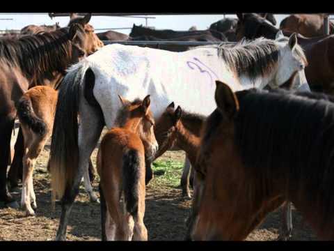 Caii salbatici de la Letea - Romanian Wild Horses