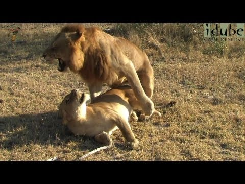 Sex In The Wild: Wild African Lions Mating video