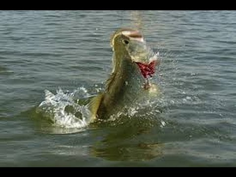 Summer bass fishing on the ohio river youtube for Ohio river fish