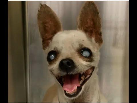 Meet Manhattan's Top Dog Model: Eli the Chihuahua - Worldnews.com