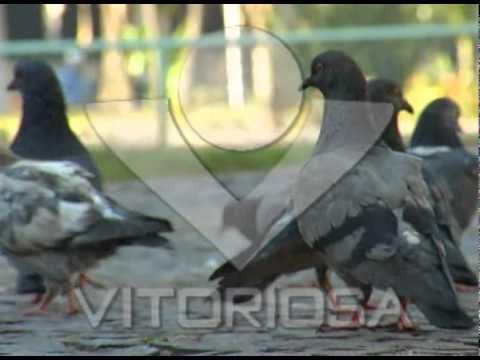 Pombos fazem sujeira e transmitem doenças mas são protegidos por lei