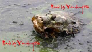 Cận cảnh Cụ Rùa Hồ Gươm nổi lên ăn xác mèo chết ngày 6 - 3 - 2011