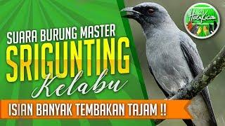 SRIGUNTING Gacor PENUH TENAGA Masteran Burung AMPUH full isian