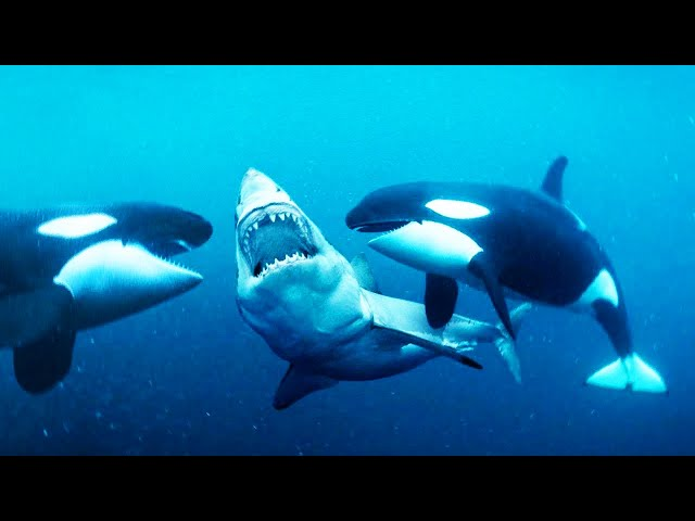 Orca vs jaws