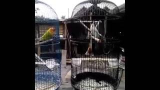Download Lagu terapi untuk memancing lovebird ngekek Gratis STAFABAND