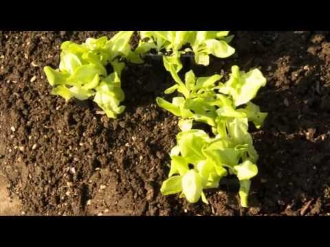Výsadba salátu do skleníku