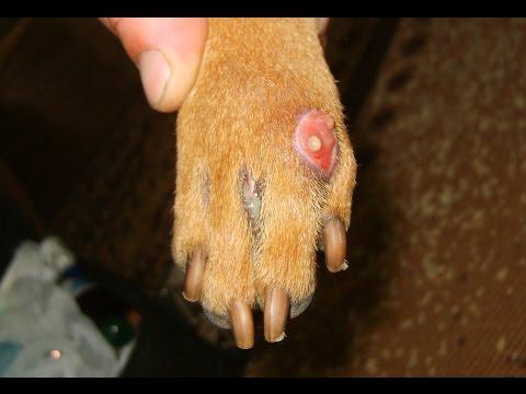 Между пальцами у собаки красная кожа