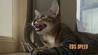 Cat Speaks Morse Code - Sounds Like Lion In Slow Motion 🦁 Cat Vocals