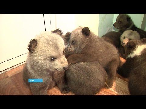 В уфимском вольере родились семеро бурых медвежат