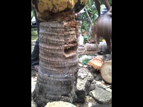 grefe de cocotier