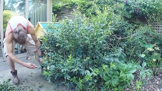 Shrub Pruning - Sarcoccoca Confusa (Christmas Box) - at the wrong time of yea