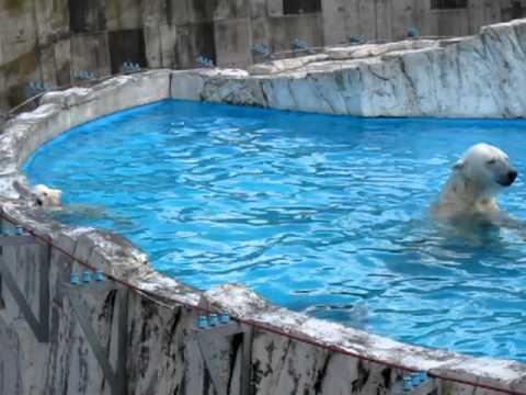 円山動物園ホッキョクグマちびちゃん、ララお母さんとプール遊び