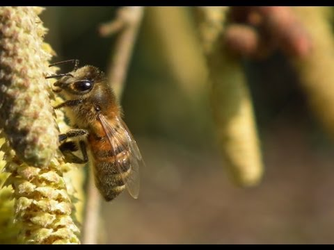 Apiculture: Abeille buckfast butinant les noisetiers – buckfast bee on nut tree