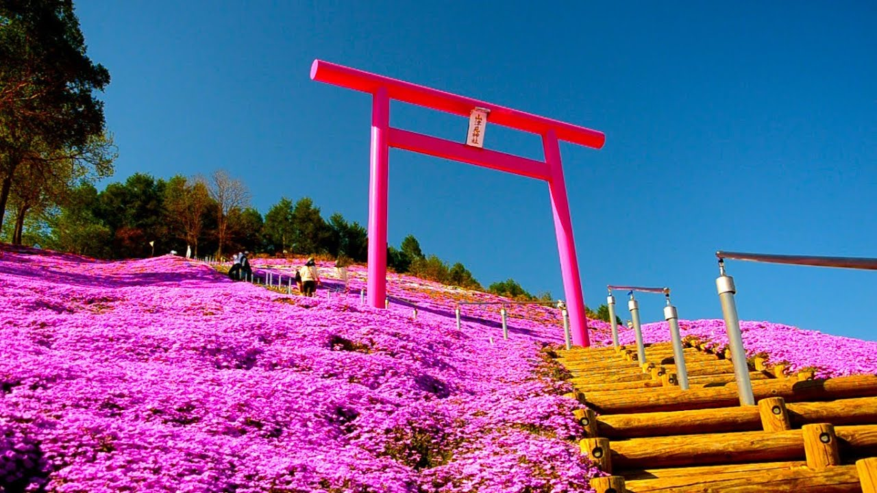 ����������������������moss phlox in japan part 2 youtube
