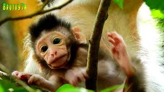 Awesome cute baby Timo learn walk on tree very good,Timo walk shake on tree under control by Mom