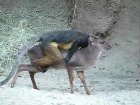 Monkey riding a small deer at the San Diego Zoo.