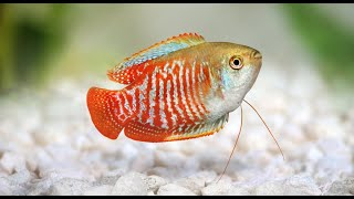 Dwarf Gourami Aquarium Fish Profile