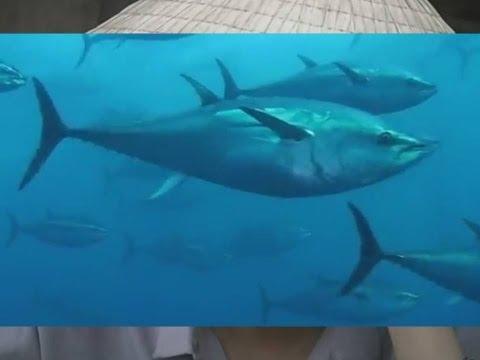 ULTIMATUN, la gran orgía reproductora del atún rojo
