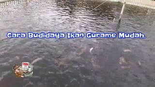 Download Lagu Cara Budidaya Ikan Gurame Mudah AmanAgar Cepat Besar dan Cepat Panen Gratis STAFABAND