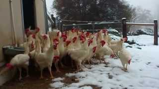 download lagu Rescued Hens See Snow For The First Time gratis