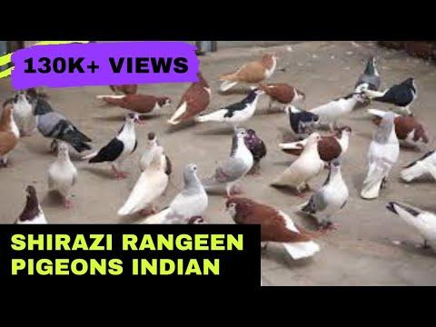 Shirazi Pigeons || B<br><iframe title=