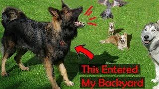 Funniest German Shepherd Barking & Annoying My Puppies  *Attacks Birds & Da Rat*